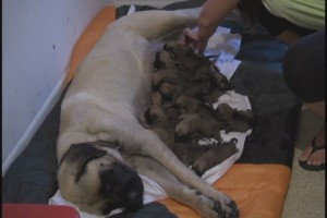 Texas Dog Gives Birth to 17 Puppies
