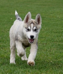 Funny Huskies – A Video Guide
