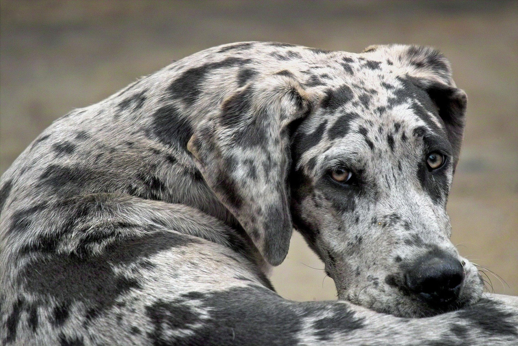 lazy dog breeds - photo #44