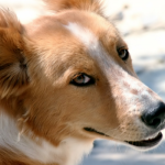 Dogs Detect Prostate Cancer with 98% Accuracy