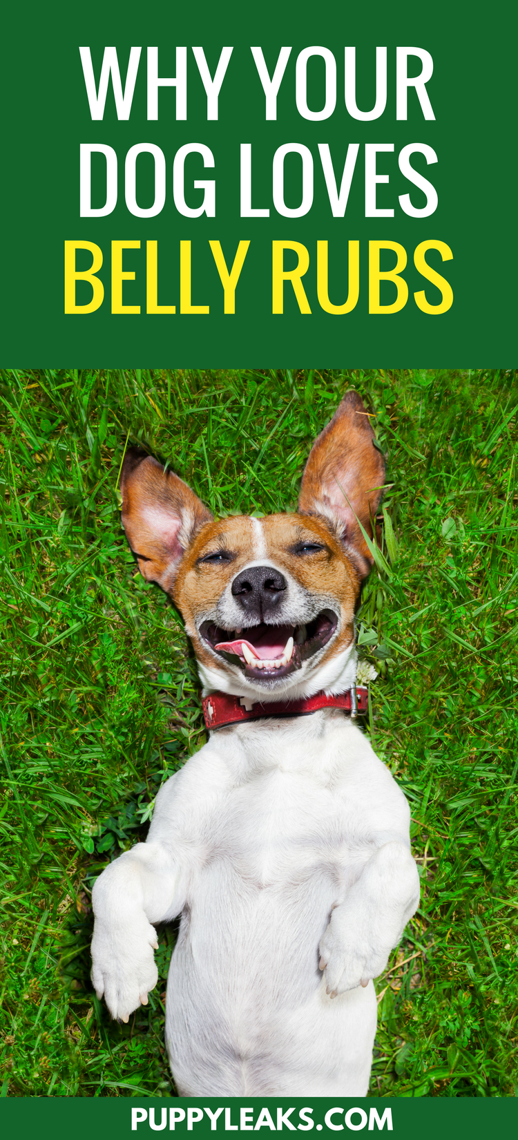 Why Do Dogs Love Belly Rubs?