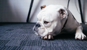 What Unethical Breeding Has Done To Bulldogs