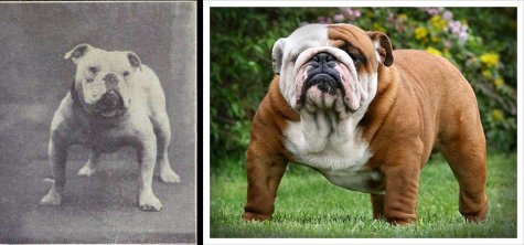 bulldog changes over the years, what have we done to bulldogs