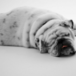 What Unethical Breeding Has Done To The Bulldog