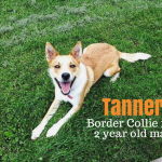 Meet Tanner The Border Collie Mix – Adopted