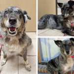 adoptable collie mix michigan