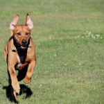 Beginners Guide to Lure Coursing