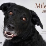 Miles sweet older lab michigan adoption