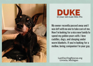 Duke the Min Pin – 12 Year Old Min Pin – Adopted
