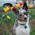 Study Reveals How Dogs Understand Human Speech