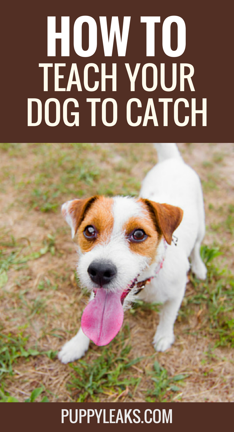 How to Teach Your Dog to Catch
