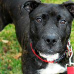 Noel is a Sweet Active Shepherd Mix Available in Detroit