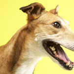 18 Excellent Reasons To Adopt a Greyhound