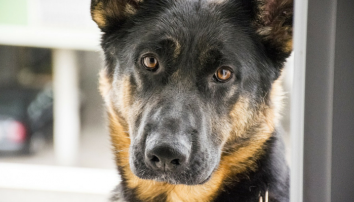 The Truth About Griffin Shepherd Kennels