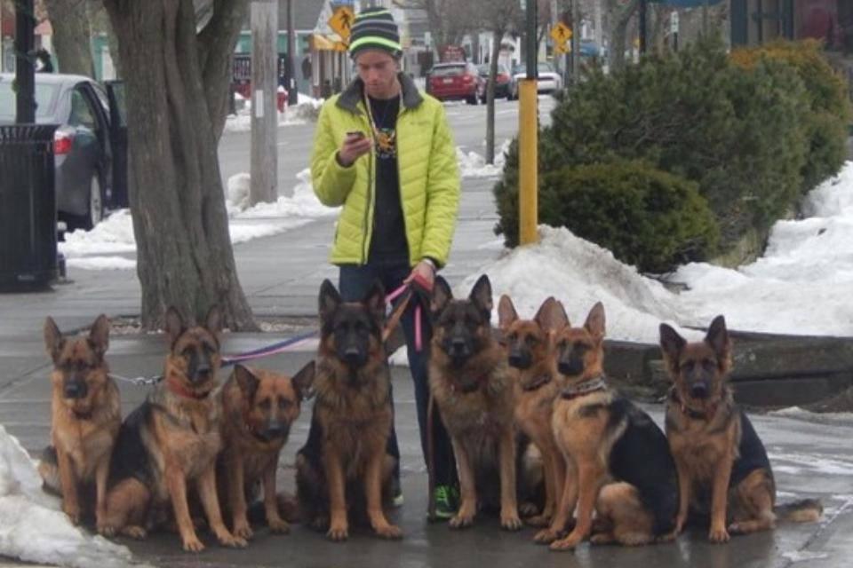 Walking German Shepherds