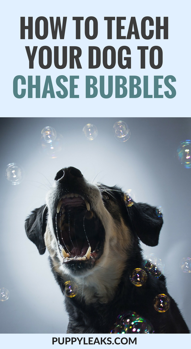 Looking for an easy way to exercise your dog? Train your dog to chase bubbles. Here's how to teach your dog to catch bubbles.
