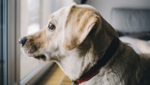 A Second Dog Is Not a Cure For Separation Anxiety