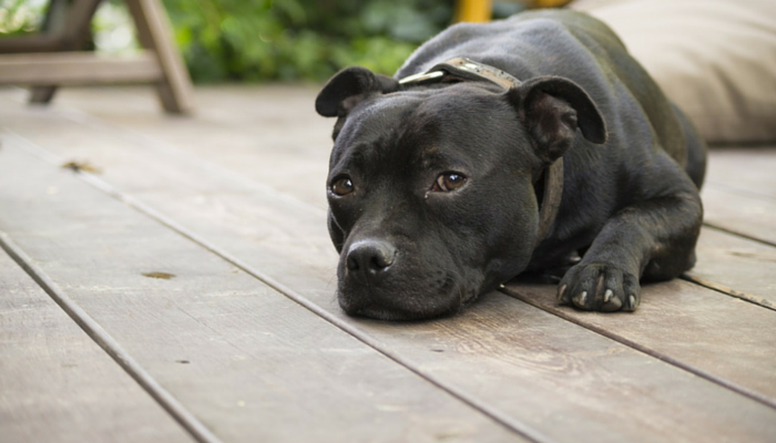 Why a Second Dog is Not a Cure for Separation Anxiety