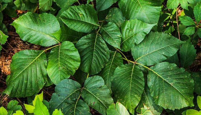 identify poison ivy