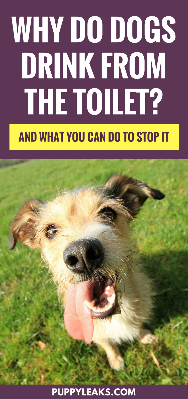 Why Do Dogs Drink From the Toilet? (and what you can do to stop it)